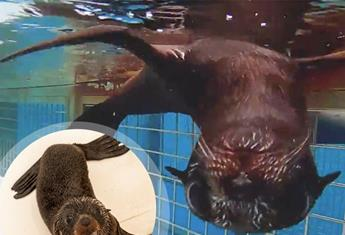 CUTE ALERT! Taronga Zoo's adorable fur-seal pup has a name at last!
